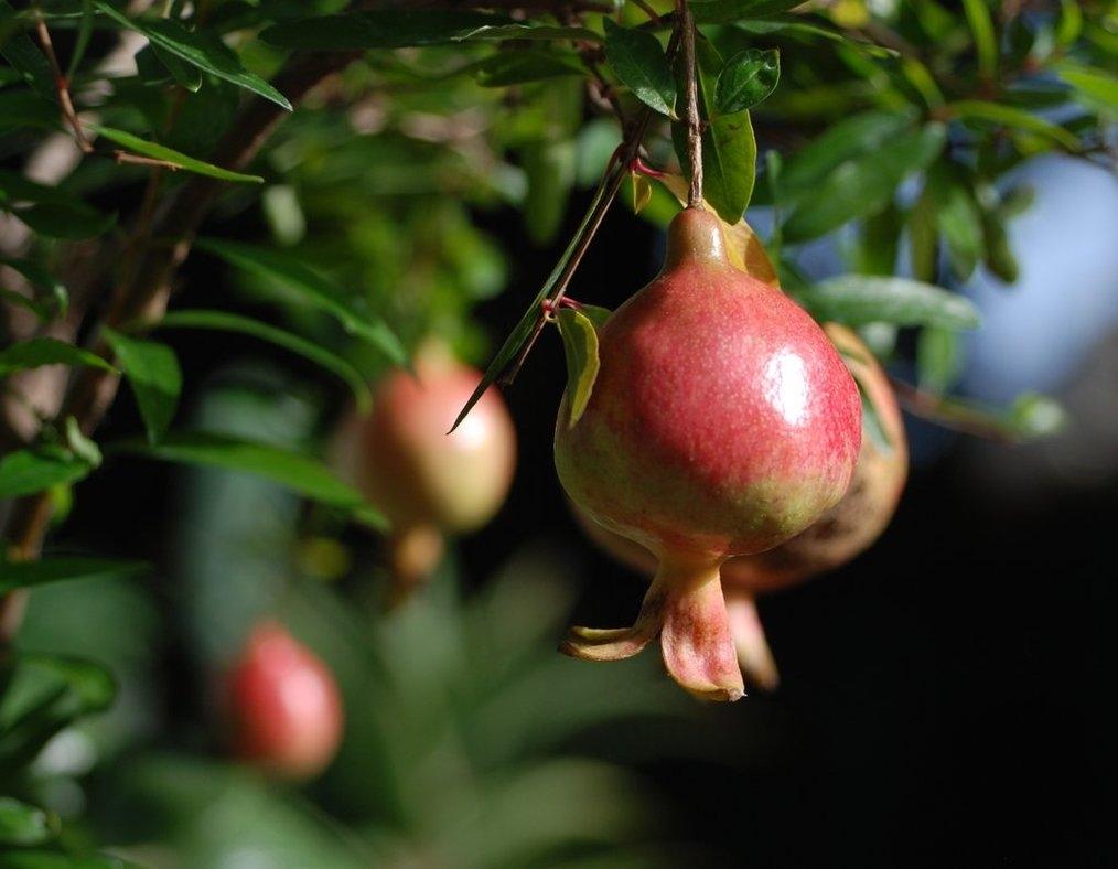 Melograno da fiore punica granatum punica granatum for Piante che amano il sole