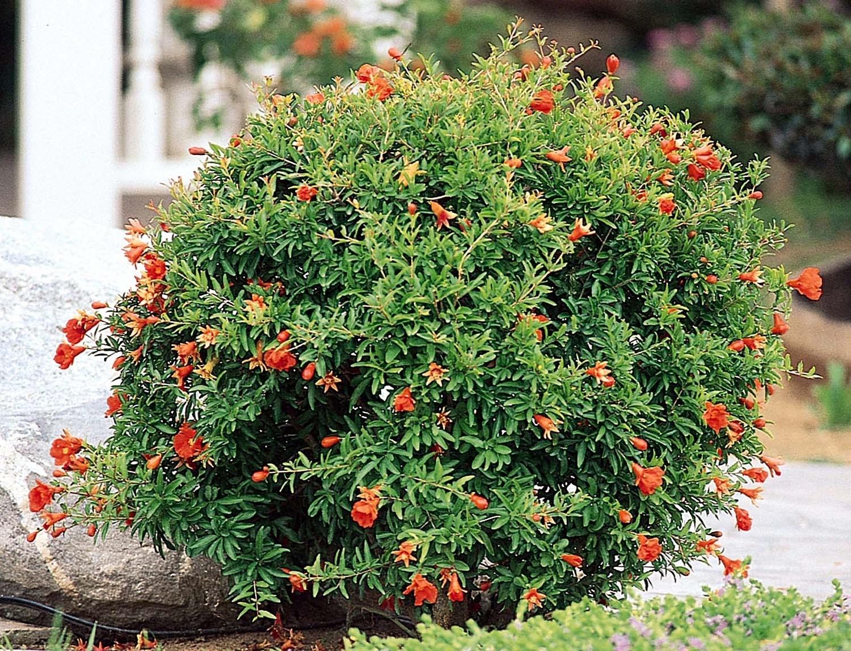 Alberi Ornamentali Da Giardino melograno da fiore - punica granatum - piante da giardino