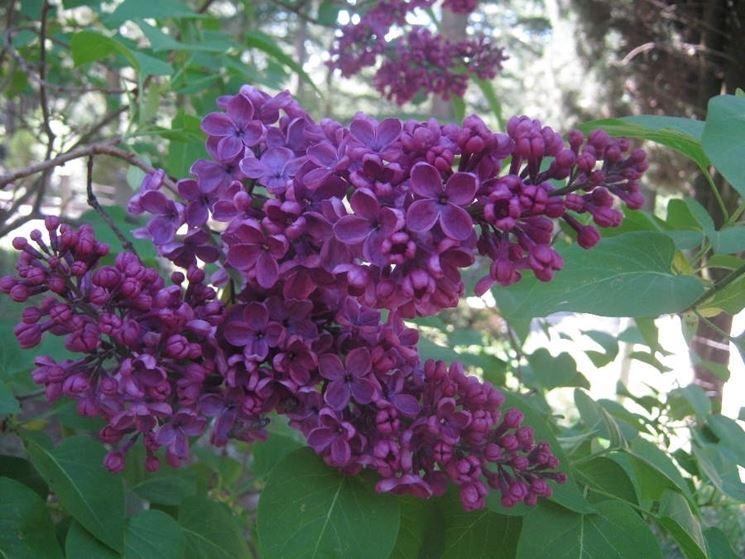 fiore di lilla