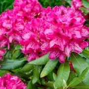 rododendro classificazioni inferiori successive