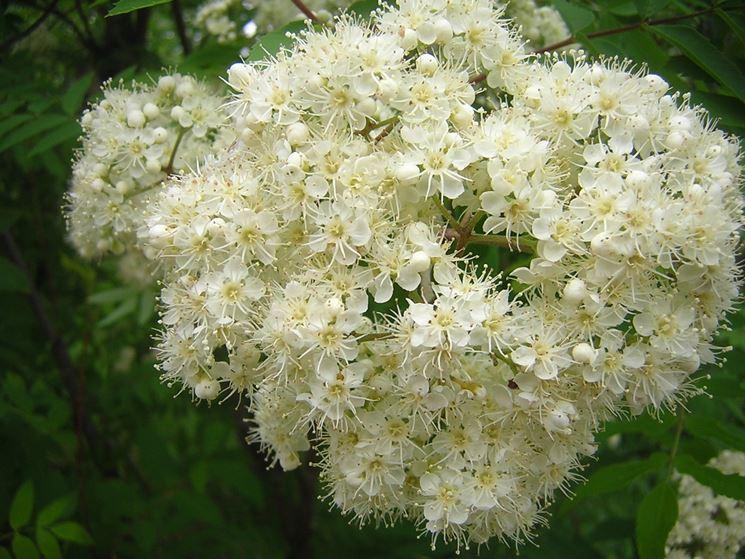 Sorbo fiori