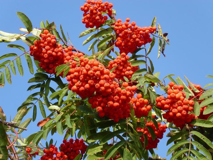 frutti di sorbo
