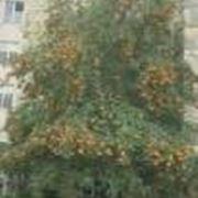 sorbo pianta