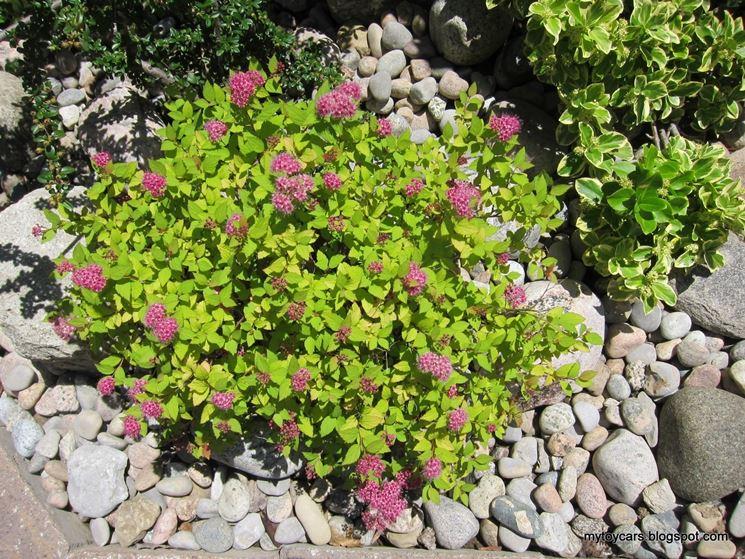 pianta di Spirea