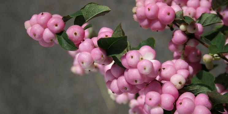 sinforicarpo rosa