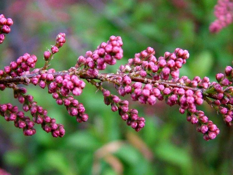 Tamerice tamarix ramosissima alberi tamerice for Alberi fioriti da giardino