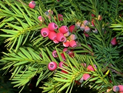 Tasso - albero