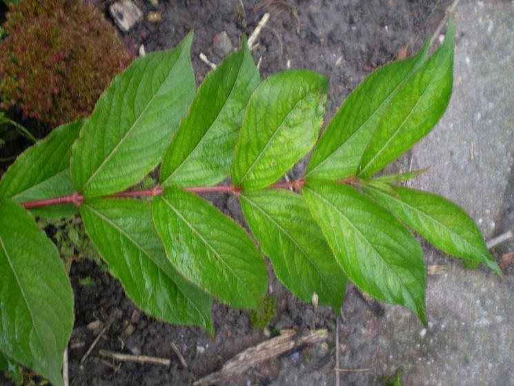 foglie di weigelia