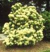 """Viburnum acerifolium"""""""