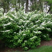 Escallonia domande e risposte giardino escallonia siepe for Cespugli fioriti perenni da giardino