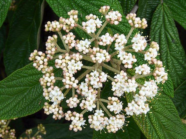 Viburno viburnum viburnum piante da giardino - Albero sempreverde da giardino ...