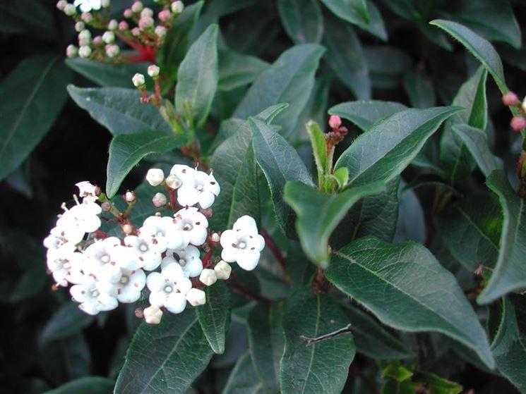 sempreverde con fiori bianchi wn22 pineglen