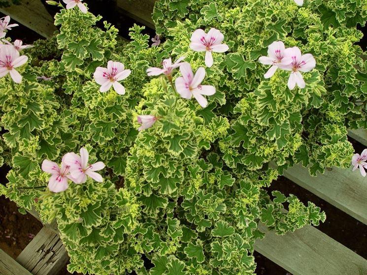 Charmay Snowflurry: Profumo di rosa