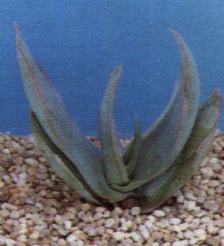 """Aloe arborescens"""""""