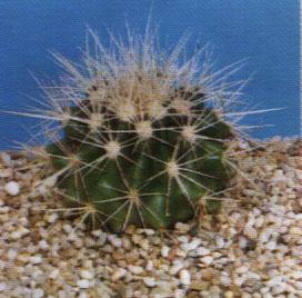 """Echinocactus grusonii"""""""