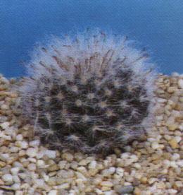 """Mammillaria sempervivi"""""""