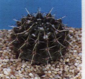"Notocactus haselbergii"""
