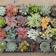 piante semigrasse