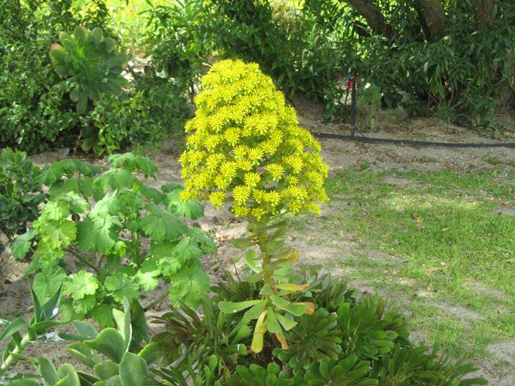 aeonium arboreum fiore