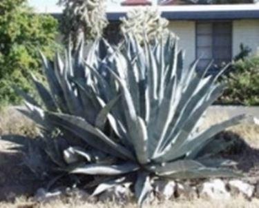 Agave Aloe