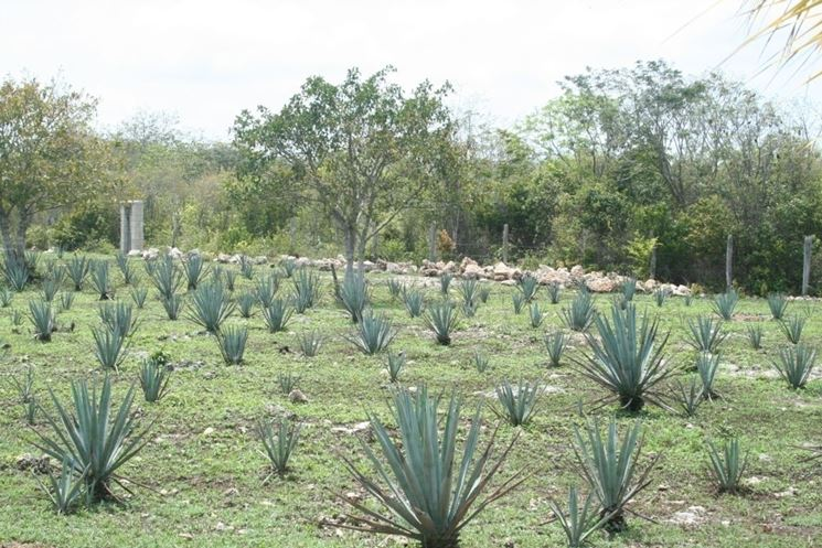 agave per tequila