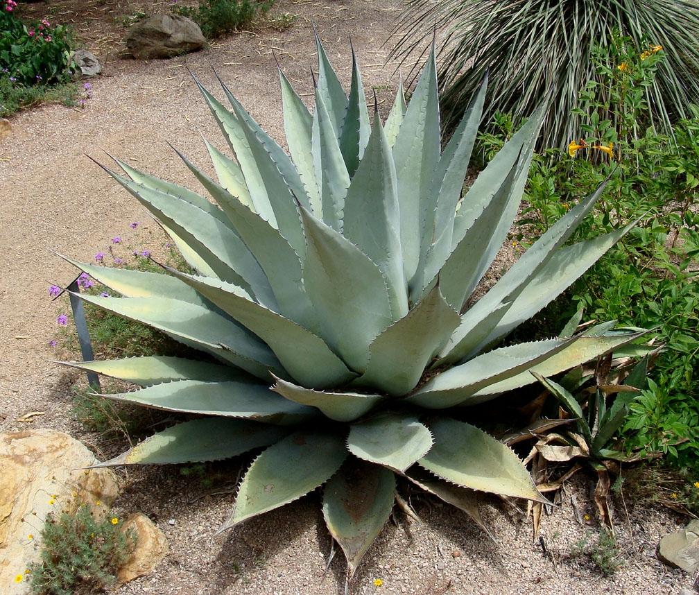 Aloe In Giardino agave aloe - speciali - agave aloe - speciali sul giardinaggio