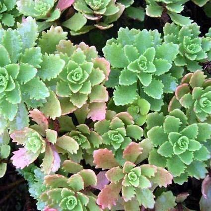 Succulente in giardino piante grasse succulente in for Piante grasse senza spine