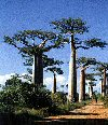 Adansonia digitata""