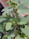 "Adenia spinosa"""