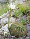 "Echinopsis eryesii"""