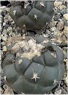 "Turbinicarpus"""