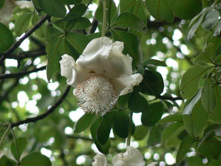 Baobab fiori