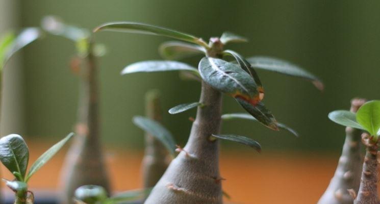 pianta di adenium
