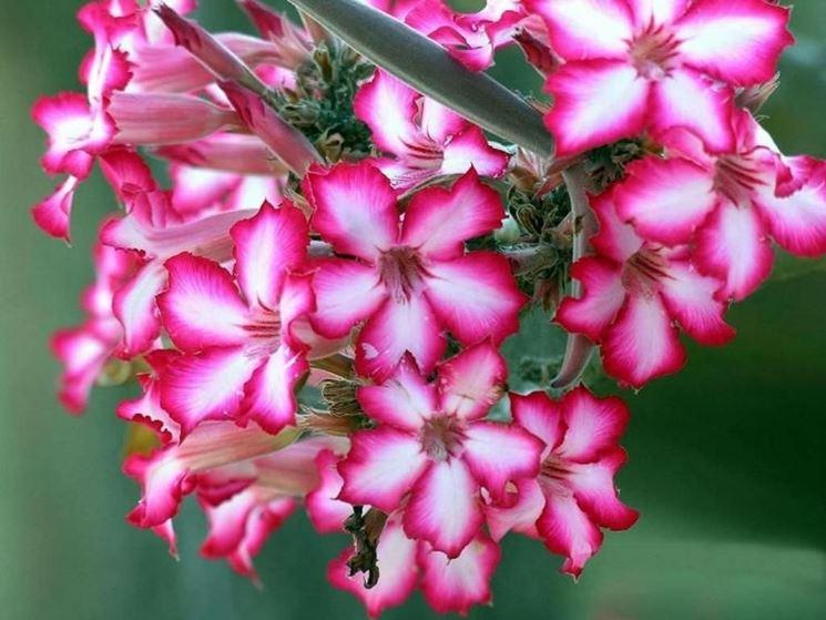 adenium fiorito