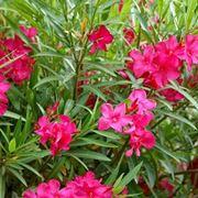 oleandro pianta