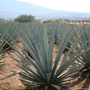 foto agave