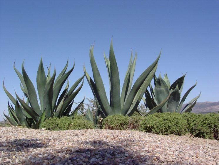 fusto agave