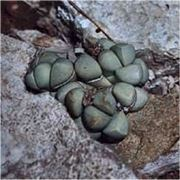 argyroderma pearsonii