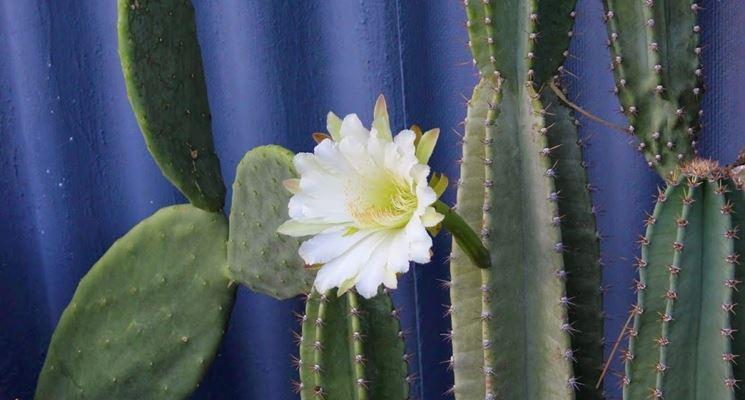 cereus peruviano