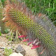 Cleistocactus