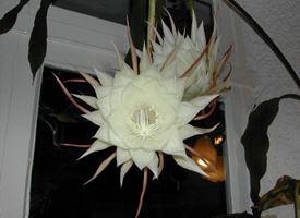 Lingua di suocera  -  Epiphyllum