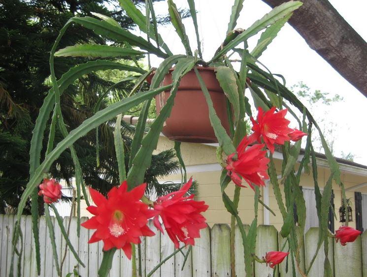 ephiphyllum fiorita