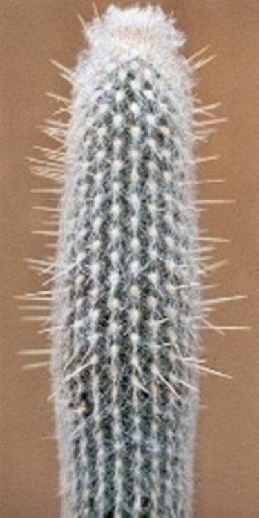 Cacto peloso