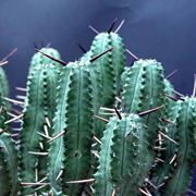 Euphorbia atrispina