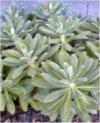 "Euphorbia griffithii"""