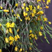 fiori hatiora