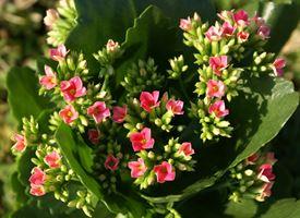 Calancola  -  Kalanchoe blossfeldiana