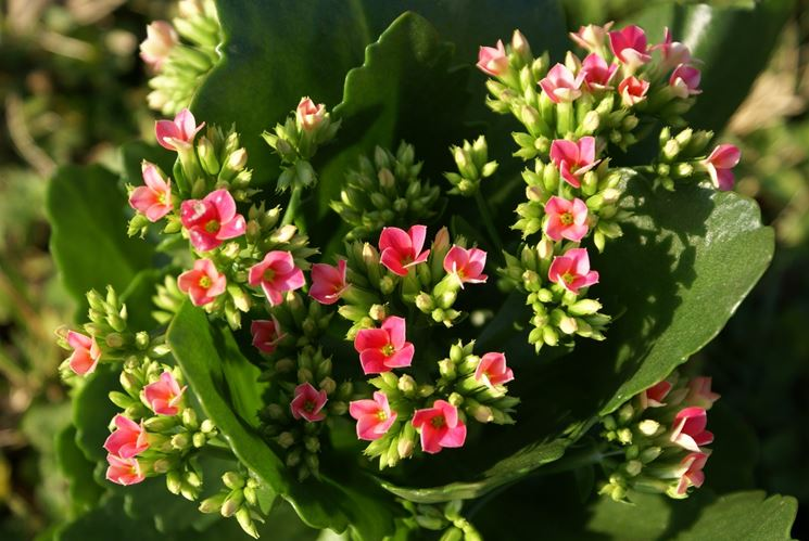 Pianta grassa con fiore rosa. elleboro la rosa dinverno che adora