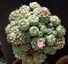 Lophophora williamsii""