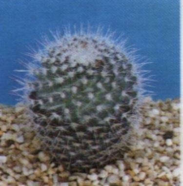 Mammillaria
